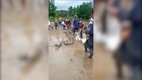 Sumatra, nella risaia scoprono un animale gigantesco: lo stupore degli agricoltori