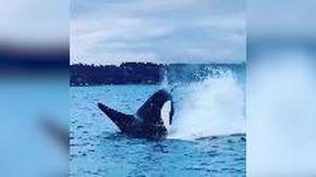 Usa, l'orca salta fuori dall'acqua e sfiora la barca dei turisti: l'incontro è ravvicinato