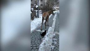 Abruzzo, l'incontro tra un cervo e un gatto per le strade del paese: la scena lascia tutti stupefatti