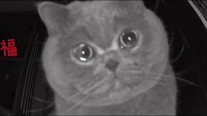 Cina, il gatto piange lasciato solo in casa, quando la padrona lo chiama dalla webcam. Il video è virale.