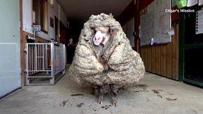 Trovata dopo 5 anni una pecora selvatica con 35 kg di vello: il prima e dopo la tosatura è impressionante