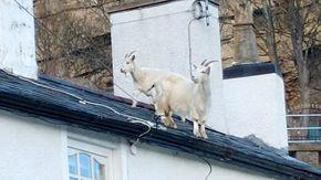 Gli effetti del lockdown in Galles: due capre passeggiano indisturbate sul tetto di una casa