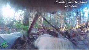 La vita segreta del lupo: per la prima volta catturata in soggettiva la sua giornata, le eccezionali immagini