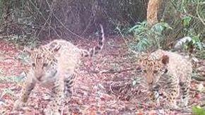 Argentina, mamma giaguaro e i due cuccioli tornano liberi