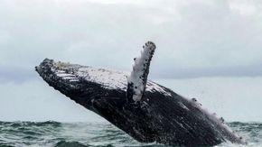 """Usa, il racconto del pescatore inghiottito da una balena: """"Così mi sono messo in salvo"""""""