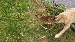 Cane scappa da casa per salvare un cerbiatto che stava annegando in un lago
