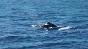 Genova, avvistati quattro capodogli a dieci miglia dal porto