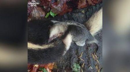 Gb, baby formichiere alla scoperta del bosco sulla schiena del fratello maggiore