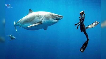 """Hawaii, incontro ravvicinato con lo squalo bianco: """"E' Deep Blue, l'esemplare più grande al mondo"""""""