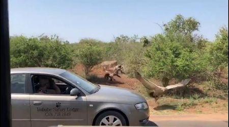 Sudafrica, i turisti si fermano a filmare gli avvoltoi: ma nel video fa irruzione una leonessa