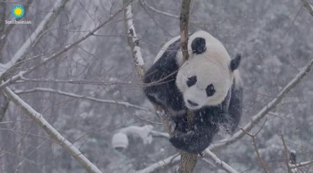 Usa, mamma e figlio giocano insieme: i panda giganti adorano le capriole sulla neve