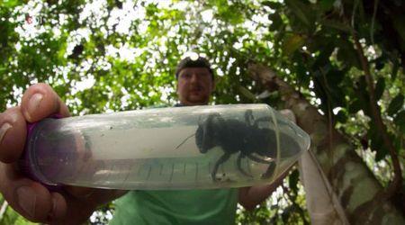 L'ape gigante non si è estinta: trovato esemplare a 38 anni dall'ultimo avvistamento