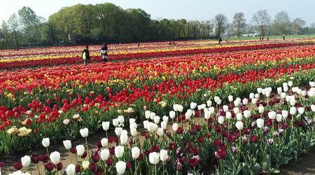 Lo spettacolo dei tulipani in fiore: il campo di Arese ripreso dal drone