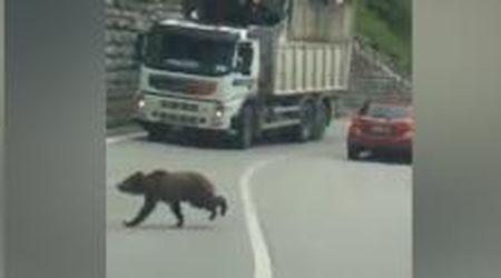 Trentino, il camion rallenta: i cuccioli di orso si fanno coraggio e attraversano la strada