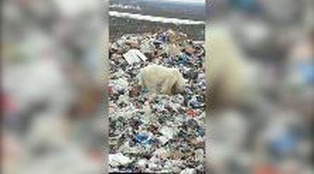 """Siberia, orso polare stremato rovista tra i rifiuti urbani. """"E' il primo avvistamento da più di 40 anni"""""""