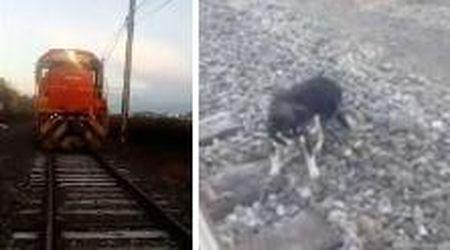 Cane incatenato ai binari: il macchinista ferma il treno in tempo e lo salva
