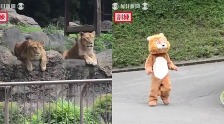 Giappone, l'addestramento del personale dello zoo (nel caso scappi un leone) è esilarante