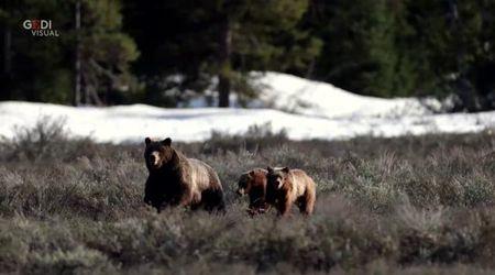 Nei boschi italiani vivono decine di orsi: le 5 cose da non fare se ne incontrate uno