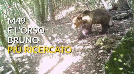 M49, dalla cattura alla fuga: l'orso bruno più ricercato d'Italia