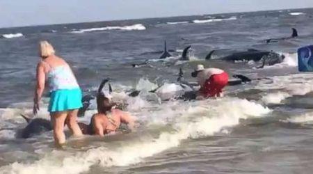 Usa, 20 balene spiaggiate: i bagnanti cercano di rimetterle in acqua