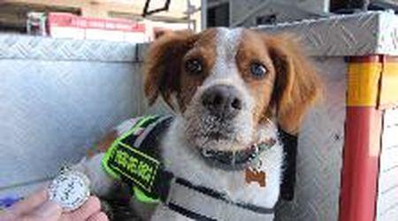 Foglia, la cagnolina che cerca persone sotto le macerie