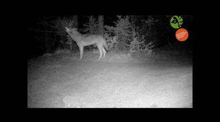 Appennino emiliano-romagnolo, in posa davanti alla fototrappola: il lupo ulula, il branco risponde