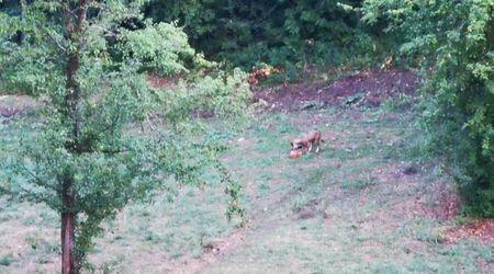 Anche i lupi giocano a pallone: il cucciolo e il Super Santos nel parco nazionale d'Abruzzo