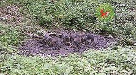 Cinque cuccioli di lupo con i genitori: l'avvistamento nelle Prealpi friulane