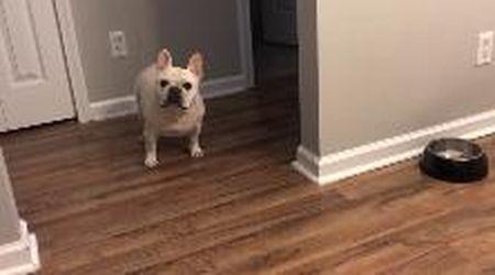 Bulldog a dieta: la ciotola è vuota e parte il grido di protesta iracondo e disperato