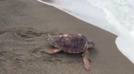 Ischia, la tartaruga Tortano torna in mare: tradita due volte dalla plastica