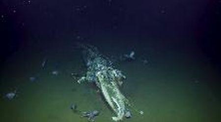 California, polpi divorano carcassa di balena: lo sgomento del ricercatore
