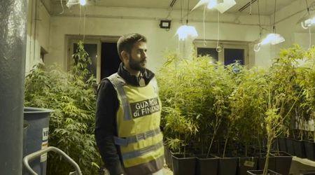 Maxi serra di cannabis in Oltrepo, arrestato agricoltore