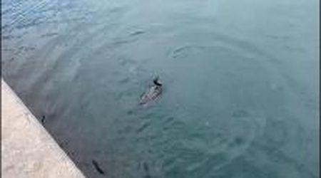 Trieste, lo show del cormorano a pesca davanti a piazza Unità