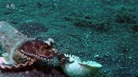 Il piccolo polpo che viveva in un bicchiere: così il sub lo ha convinto a trasferirsi in una conchiglia