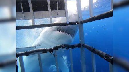Guadalupe, faccia a faccia con lo squalo bianco: i sub salvati dalla gabbia di ferro