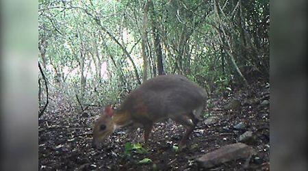 Il topo-cervo esiste: filmato per la prima volta in 30 anni l'animale che si credeva estinto