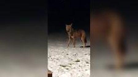 Bormio, l'incontro ravvicinato con il lupo