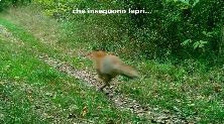 """Parma, due """"frecce"""" nel bosco: la volpe insegue la lepre"""