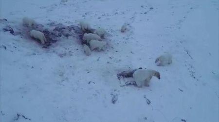 Orsi polari invadono villaggio russo: sfamati dagli abitanti con carcasse di trichechi