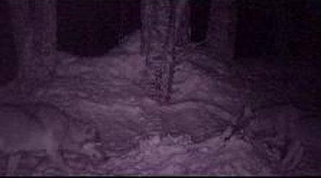 Monte Rosa, quindicenni mettono videocamera nel bosco: riprendono i lupi sulla neve