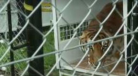 Sudafrica, la tigre del circo viene liberata dopo anni in una gabbia minuscola: la sua reazione
