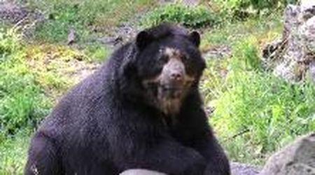 Gli orsi Luis e Bahia tagliano il traguardo delle nozze d'argento