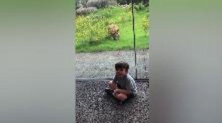 Usa, crede sia una preda: la leonessa punta il bimbo in visita allo zoo
