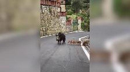 Coronavirus, Brescia: mamma cinghiale e i suoi cuccioli a spasso per la città