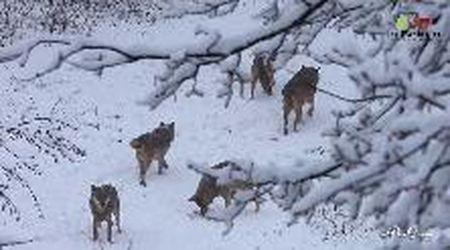 """Abruzzo, magia di fine inverno: i lupi """"giocano"""" nella neve"""