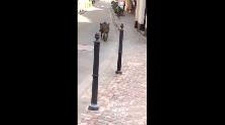 Coronavirus, il fake video del cinghiale a spasso per Padova