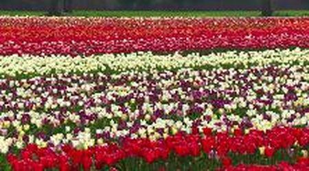 Milano, il campo dove raccogliere tulipani chiuso per il coronavirus: i coltivatori li regalano al cimitero