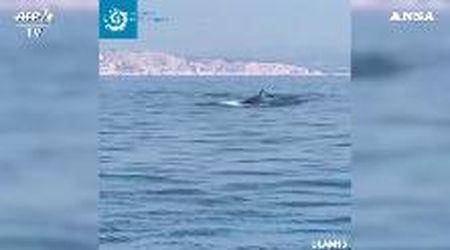 Non c'è traffico in mare, due balenottere si avvicinano alla costa: l'avvistamento al largo di Marsiglia