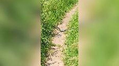 L'incontro sul sentiero a Casottole: due biacchi in amore