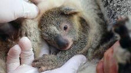 """Australia, il primo koala nato nel parco naturale dopo gli incendi: ecco """"Cenere"""""""